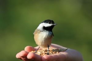 Feeding Chickadee W0145