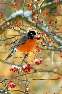 Snowy Robin W3877
